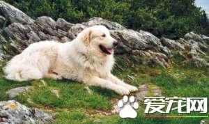 大白熊犬忠诚吗 大白熊犬对主人忠诚吗